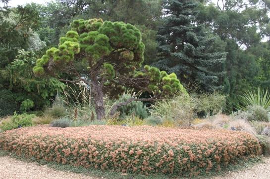 miniature pine