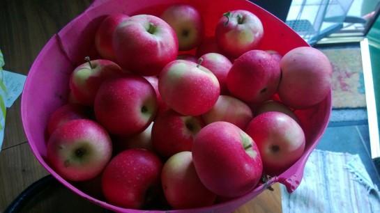 early apple crop