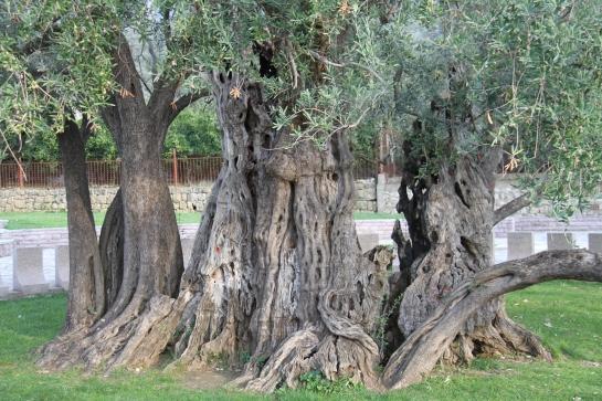 Olea europaea - European olive