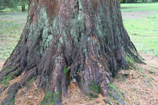 Sequoiadendron giganteum - the giant sequoia
