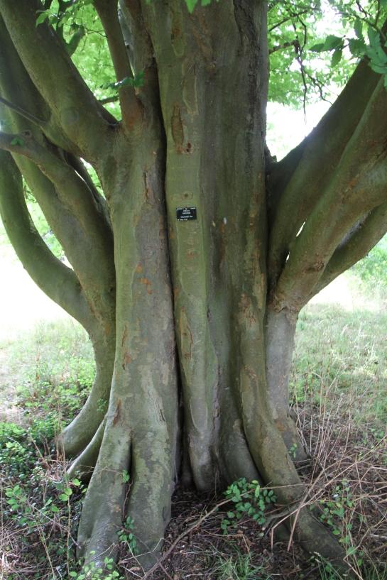 Zelkova carpinifolia - the caucasian zelkova