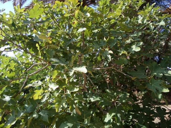 Figs...